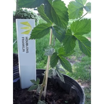 1st year hop plant, CANADIAN REDVINE cultivar