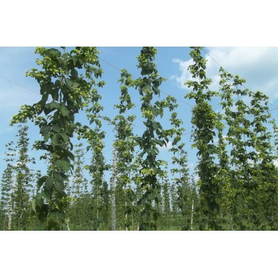 2nd year hop plant - Orders of 10 units and more