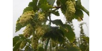 Mature FIELD hop plant - ORDERS OF 10 AND MORE