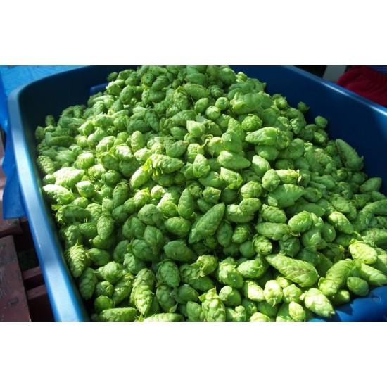 2 kilogrammes de houblon vert CASCADE
